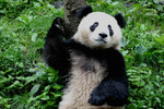 panda2-2